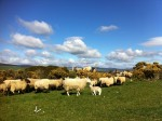 sheep and lambs in Ireland